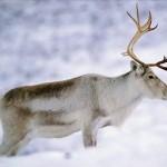 Северный дикий олень.