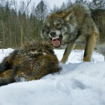 Охота на черного волка.