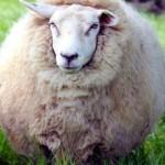 В Токио состоялось открытие отеля для овец
