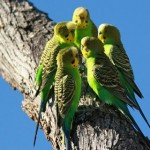 Родина волнистых попугайчиков. Австралия.